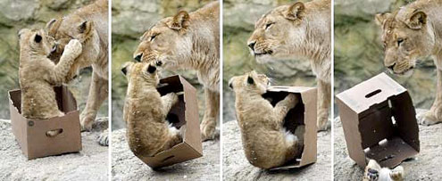 Vì sao lũ mèo lại có niềm 'đam mê' đặc biệt với các loại thùng giấy?