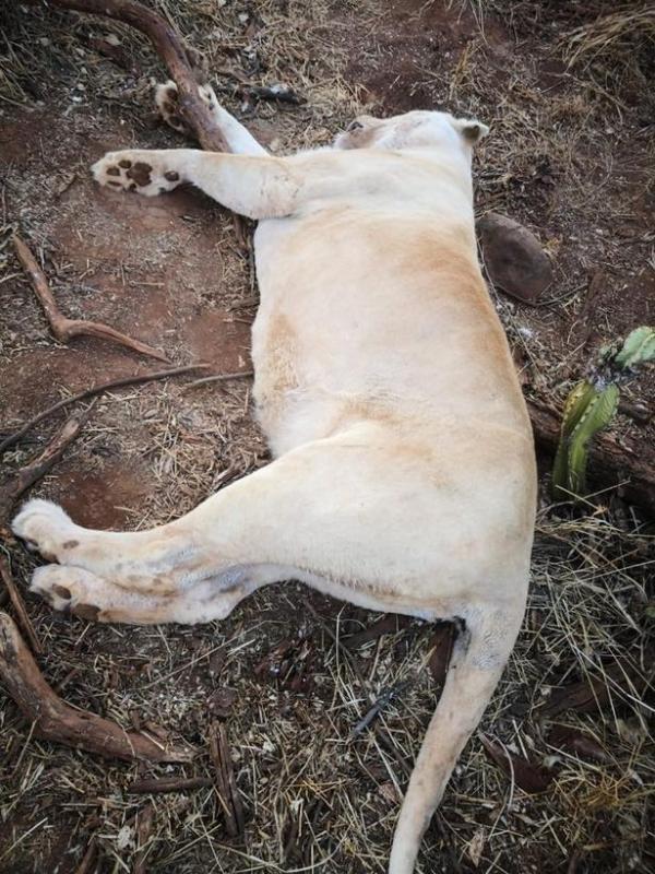Sư tử bị chặt chân rồi sát hại dã man bởi bọn săn trộm ở Nam Phi