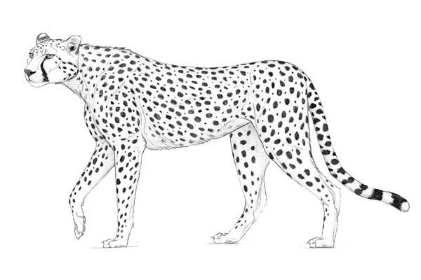 Những kỷ lục đáng kinh ngạc trong thế giới loài vật (Phần 1 - Động vật trên cạn)