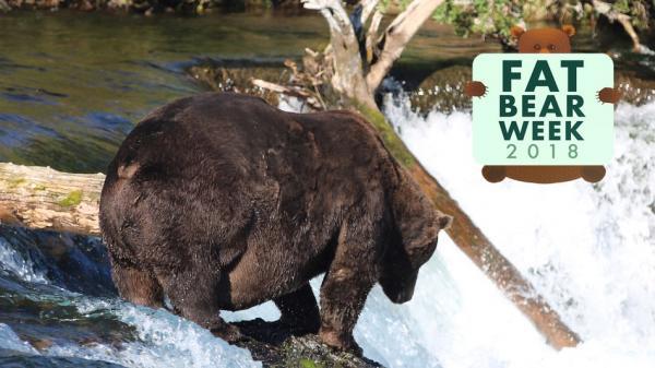 Đã tìm ra chú gấu nâu mập nhất quả đất năm 2018