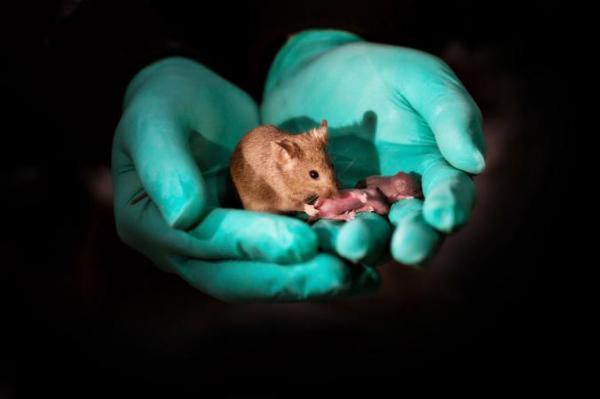 Chuột con ra đời từ 2 chuột mẹ, liệu sinh sản đồng giới có phải là điều khả thi trong tương lai?