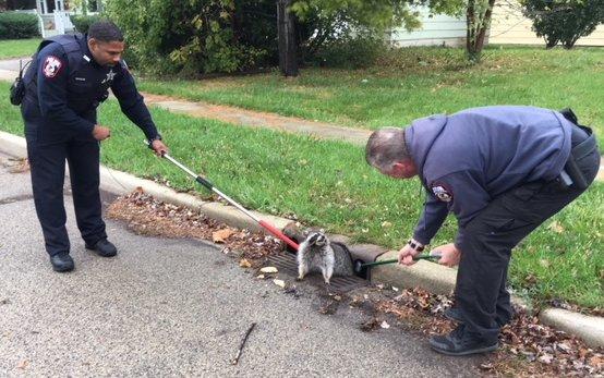 Mập ú quá đà, chú gấu mèo bị mắc kẹt trong nắp cống và phải đợi cảnh sát tới giúp đỡ