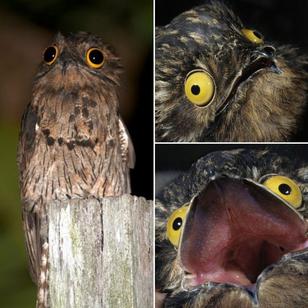 Khám phá loài chim Potoo - 'Thánh meme' có gương mặt hờn dỗi cả thế giới