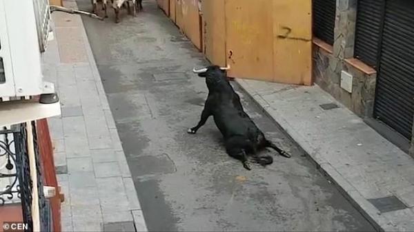 Chú bò tót bị gãy chân, lê lết trên đường phố Tây Ban Nha
