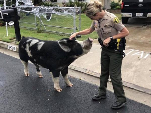 Đáng yêu nhất tuần: Em lợn trốn nhà đi bụi bị cảnh sát 'dụ' về chỉ vì một túi bim bim