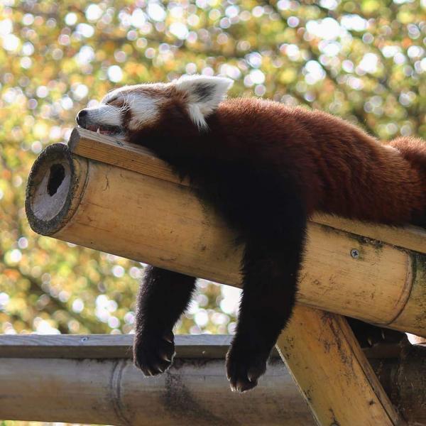 Phì cười trước nghìn lẻ một tư thế ngủ kỳ lạ, hài hước của động vật