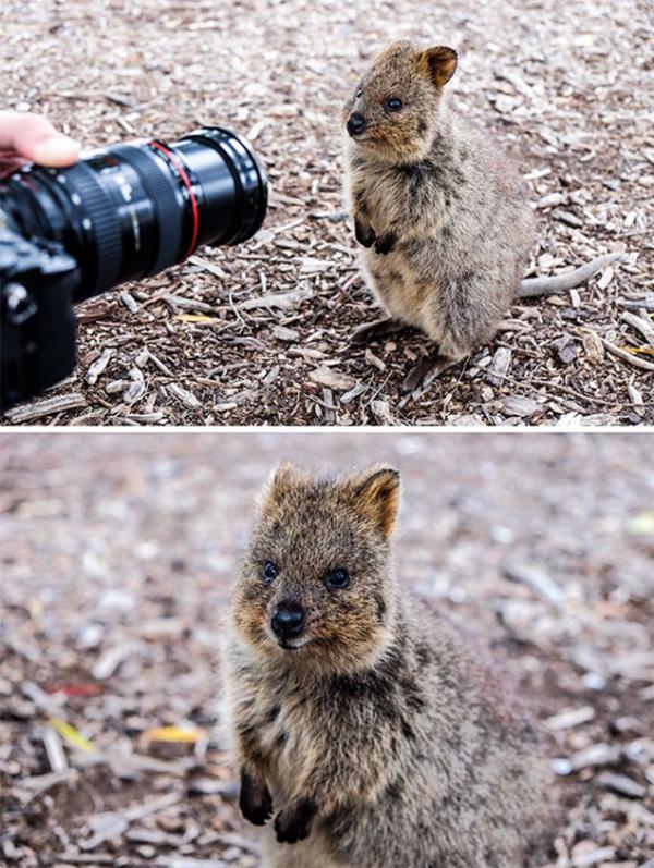 Bí kíp chụp ảnh selfie cùng Quokka - Loài động vật hạnh phúc nhất thế giới
