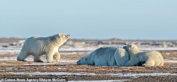Hình ảnh chú gấu Bắc Cực chắp tay cầu nguyện mong tuyết rơi khiến người xem cảm động