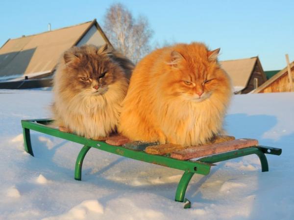Ở ngoại ô Siberia tồn tại một 'Vùng đất mèo' ngỡ chỉ có trong truyền thuyết
