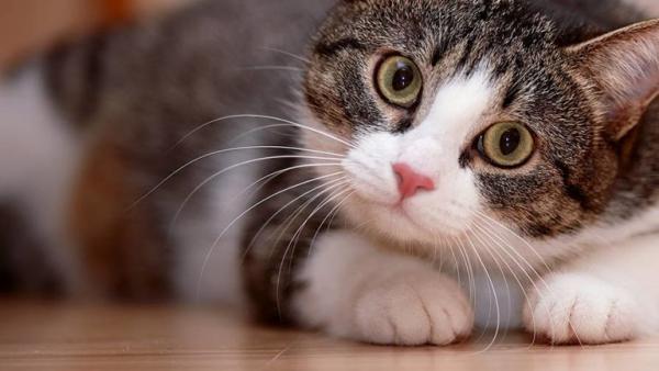 Vì sao nói loài mèo có 9 mạng, thực hư như thế nào?