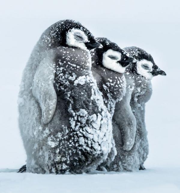 Cuteness overload: Trời rét -24°C, bầy cánh cụt con quây tròn sưởi ấm cho nhau