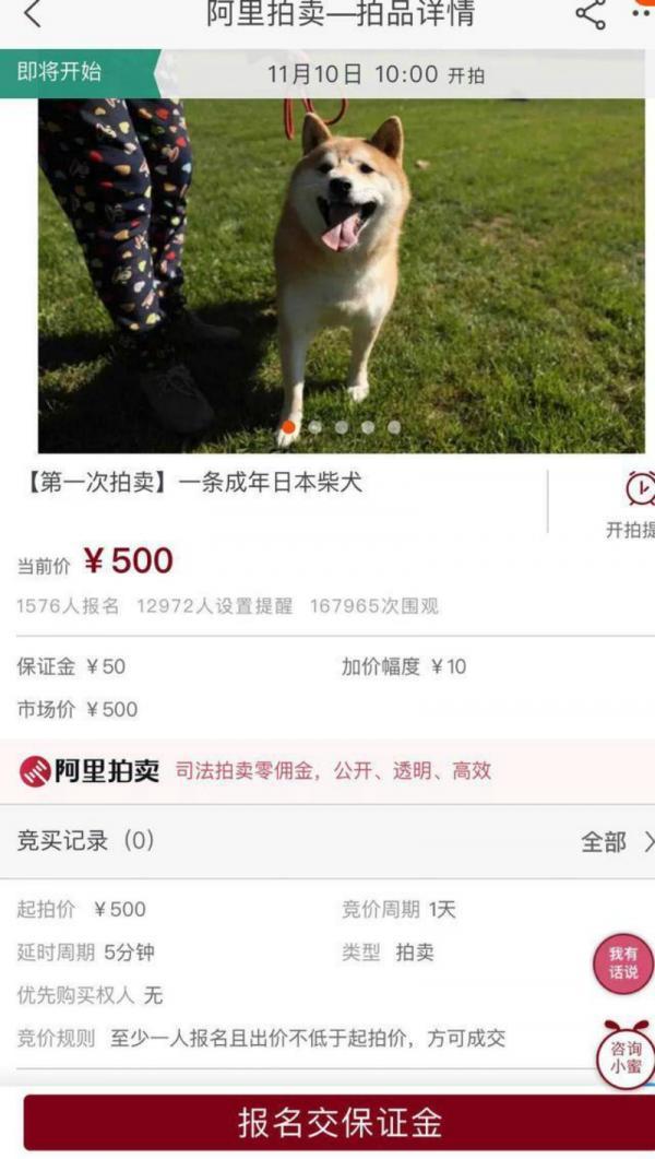 Chú chó Shiba Inu đáng yêu bỗng nhiên nổi tiếng trên MXH khi được lên sàn đấu giá