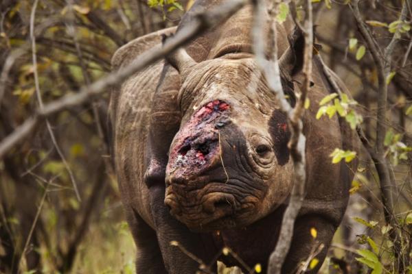 Trung Quốc chính thức hợp pháp hóa việc buôn bán sử dụng sừng tê giác và cao hổ
