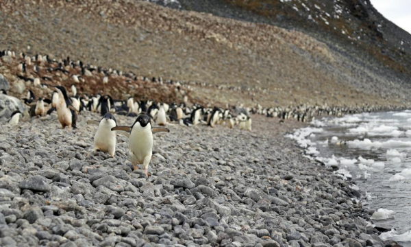 10 chuyện thú vị xoay quanh 'hot chym Nam Cực' - Cánh cụt Adélie
