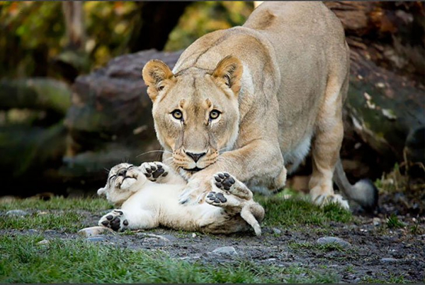 So sánh cách con người và động vật chăm con: Sao lại hài hước và trớ trêu thế này!