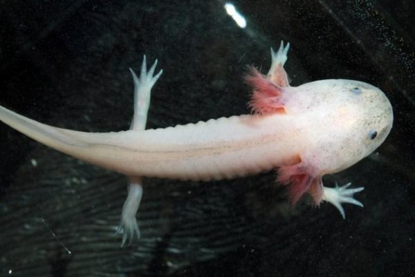 'Khủng long sáu sừng' Axolotl - Loài sinh vật kỳ dị, dễ thương mà ít người biết
