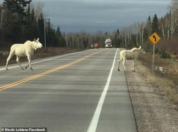 Khoảnh khắc vàng khi hai con nai sừng tấm trắng quý hiếm băng qua đường cao tốc