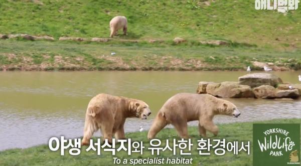 Cả đời bị giam cầm, cụ gấu Bắc Cực chết ngay trước khi được tự do khiến nhân viên vườn thú chết lặng