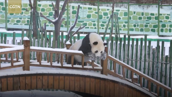 Cả thiên hạ vào mà xem gấu trúc Trung Quốc đón tuyết đầu mùa: Có cần phải đáng yêu vậy không?