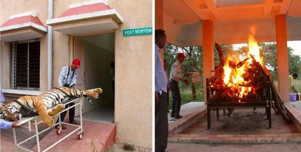 Con hổ được cho là đã ăn thịt 13 người ở Ấn Độ bị bắn chết và đốt xác
