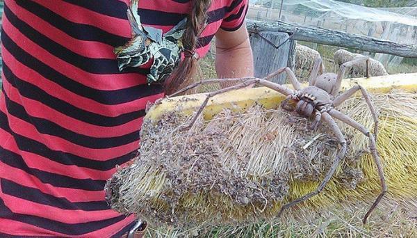 Cô gái giải cứu nhện khổng lồ và thả nó tự do khiến cộng đồng mạng 'câm nín'