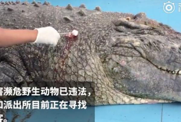 Cá sấu tại vườn thú Trung Quốc bị du khách ném đá đến vỡ đầu, chảy máu