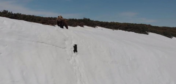 Sự thật đáng buồn đằng sau đoạn clip gấu con kiên trì leo lên vách núi tuyết