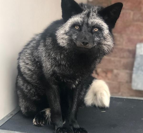Shadow - Con cáo bạc quý hiếm bất ngờ được tìm thấy ở vùng ngoại ô Anh quốc