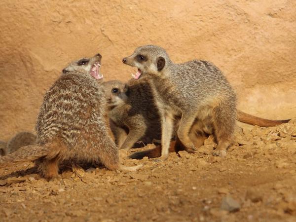 10 sự thật 'dễ xương' về họ hàng của Timon trong 'Vua Sư Tử' - Loài chồn meerkat