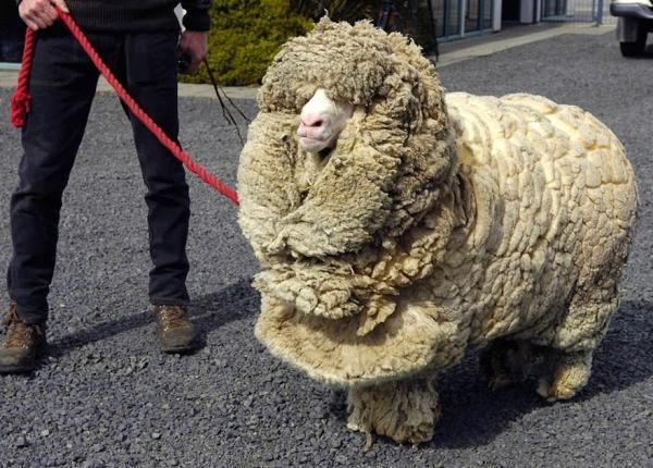 Con cừu lười tắm đã trốn trong hang 6 năm để không bị cạo lông