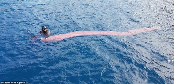 Thợ lặn lúng túng khi thấy 'dưa chua biển' khổng lồ được tạo thành từ hàng trăm ngàn sinh vật nhỏ