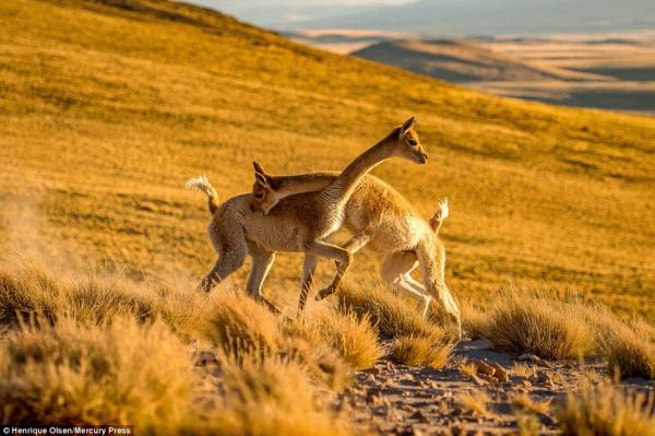 Lạc đà vicuna đánh nhau 'sứt đầu mẻ trán' nhưng nhìn sao cũng giống đang 'iu nhau' thắm thiết