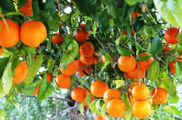 8 sự thật thú vị về những cái tên: Đoán xem, quả cam và màu cam cái nào có trước?
