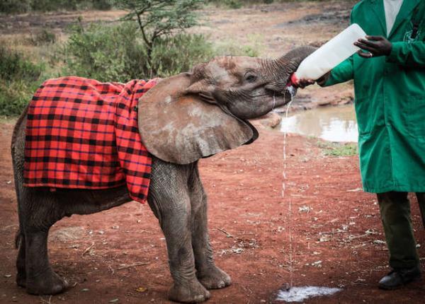 Cảm động chú voi con mồ côi được 'ôm ấp' an ủi bởi đàn voi