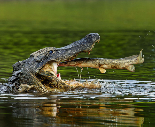Chùm ảnh độc đáo khi động vật ăn tươi nuốt sống lẫn nhau để sinh tồn trong tự nhiên