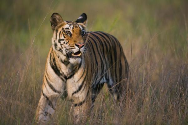 Những động vật phàm ăn nhất: Hổ xơi khoảng 40kg thịt/bữa, rắn có thể nuốt chửng một con cừu đang mang thai