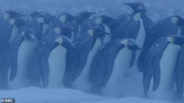 'Dynasties': Cuộc chiến sinh tồn khắc nghiệt trên băng của những chú chim cánh cụt Hoàng đế