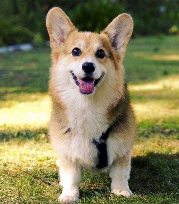 10 giống chó cực cute nhưng là sai lầm khi nuôi trong nhà có trẻ em
