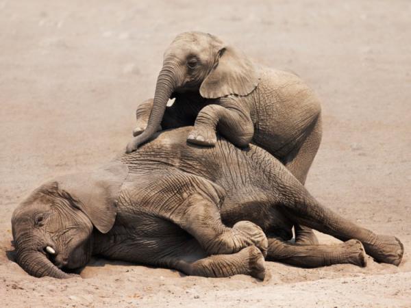 Bị săn bắn và giết hại dã man, voi Châu Phi đang dần 'tiến hóa' thành voi không ngà