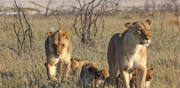 Sư tử đực bị đàn linh cẩu bao vây không khác gì cảnh phim 'Vua Sư Tử'