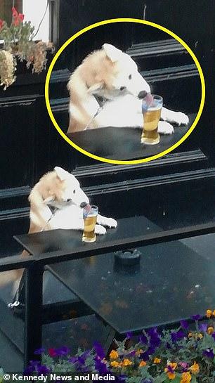 Bắt gặp em chó Shiba uống trộm bia, trước khi 'nhấp tí men' còn biết láo liên nhìn xem chủ đâu rồi