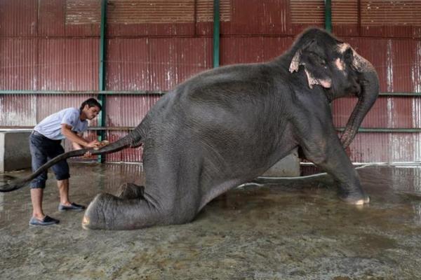 Bệnh viện cho voi đầu tiên ở Ấn Độ tiếp thêm hy vọng cho nỗ lực bảo tồn động vật hoang dã