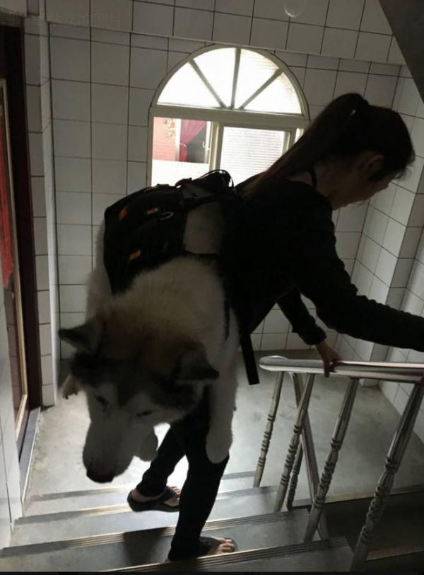 Cô gái cõng chó cưng 32kg bị viêm khớp lên xuống 5 tầng lầu: 'Chỉ cần em khoẻ, chị nguyện lòng làm tất cả'