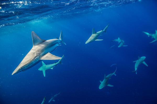 Tập hợp những hình ảnh đẹp nhất về cá mập – sát thủ của đại dương