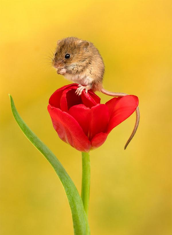 Mở bông hoa tulip ra và ú oà, có bé chuột ở trong kìa