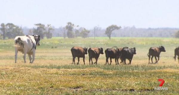 Chú bò 'lực sĩ' cao gần 2 mét, may mắn thoát chết vì không chui vừa bất kỳ lò mổ nào