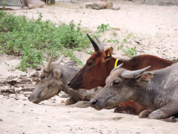 Chú bò Billy ở Hong Kong chết vì ăn phải rác thải của du khách tắm biển