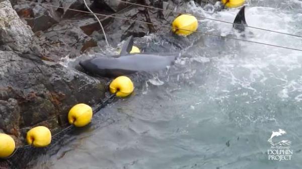 Chú cá voi nhỏ cố gắng tự tử khi chứng kiến gia đình mình bị tàn sát