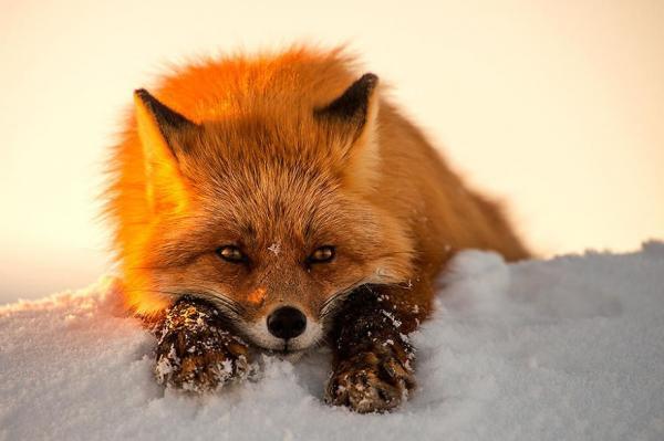 Không lẽ chúng ta đổ oan tiếng ác cho loài cáo, chúng 'một trời moe' thế này cơ mà!