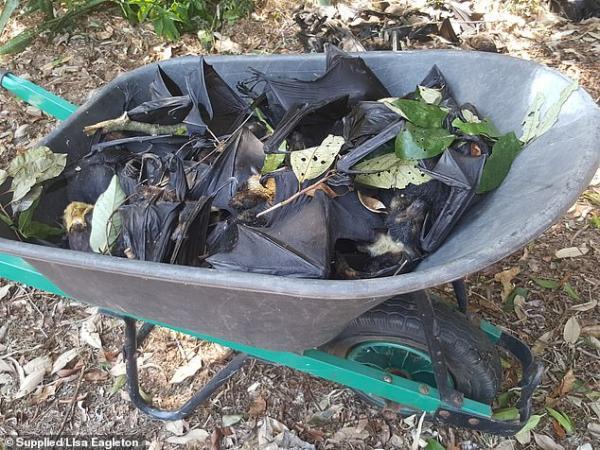 Chuyện kinh dị xảy ra ở Úc: Hơn 5.500 con dơi chết rơi xuống khu vườn khiến chủ nhà chết khiếp